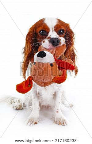 Cute cavalier king charles spaniel dog puppy on isolated white studio background. Dog puppy with toy puppy. Cute.