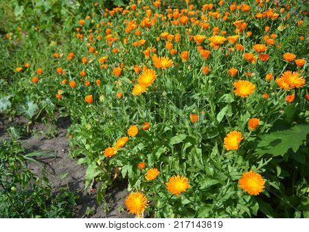 Calendula officinalis flowers flower bed for calendula tea and calendula oil.