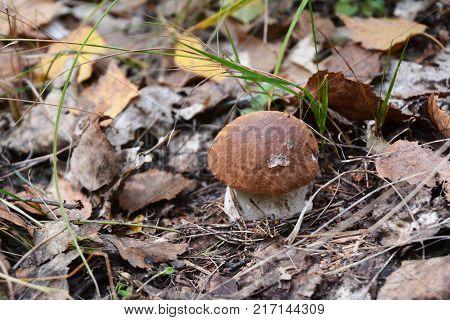 Gathering mushrooms. Mushroom hunting. Gathering Wild Mushrooms. Boletus edulis or penny bun cep porcino porcini or Edible Mushroom