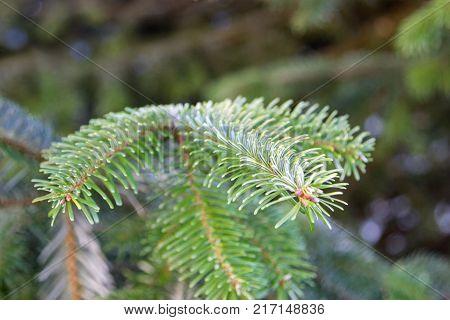 close-up of a fir branch at a tree