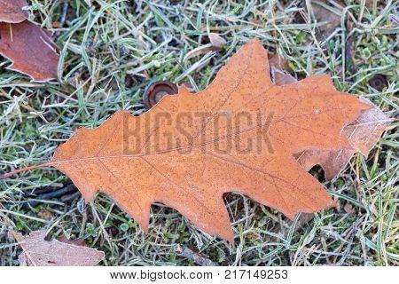 single oak leaf on frozen meadow in the morning
