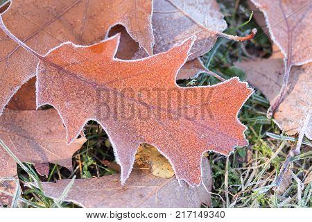 oak leaves with diamond dust on a meadow