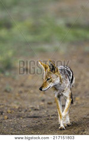 Black backed jackal in Kruger National park, South Africa