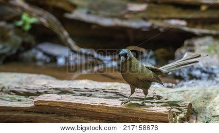 Bird (racket-tailed Treepie) In A Wild