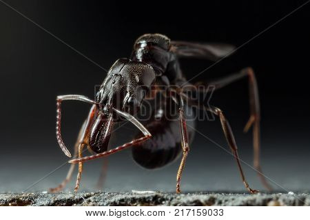 Trap jaw ant