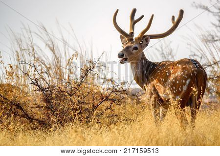 Male spotted deer or Axis grazes known as chital in Ranthambore national reserve in India