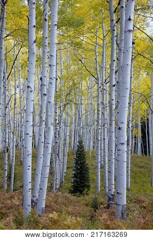 Lone conifer tree amongst aspens in the Autumn Fall foliage color in Kebler Pass near Crested Butte Colorado America
