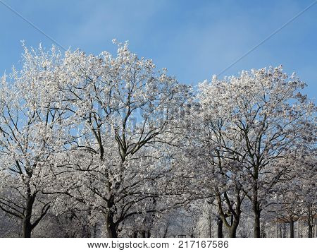 Frost on bare branches of trees - winter day