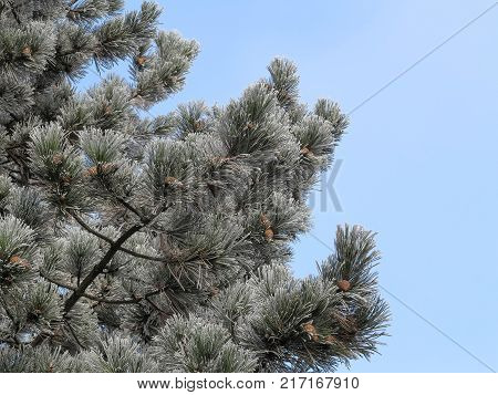 Rime frost on needles of pine tree