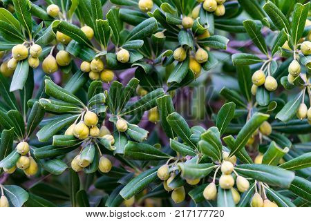 green bush with yellow fruits of capers closeup