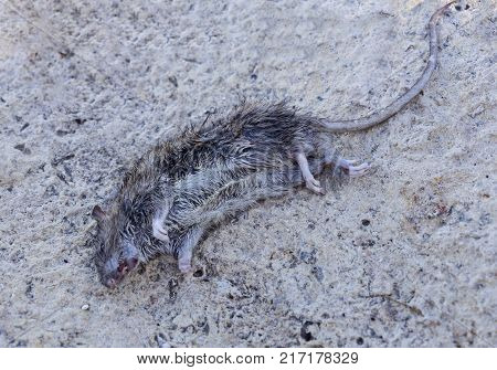 Rodent Fact, Identification. Rat Rodent Control is Sanitation, Inspection and Exclusion concept, selective focus, dead street