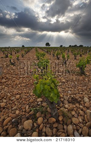 Vineyard Before A Storm.