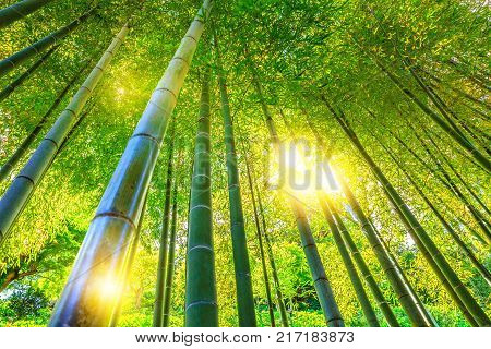 Green bamboo background. Bottom view of grove of bamboo garden in surreal sunlit. Hase-dera Temple or Hase-kannon in Kamakura, Japan. Meditative concept.