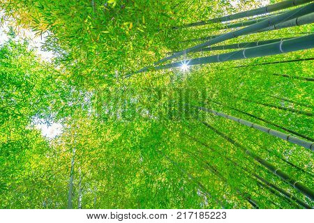 Green bamboo background. From the bottom to the top view of grove of bamboo garden. Hase-dera Temple or Hase-kannon in Kamakura, Japan. Meditative and buddhism concept.