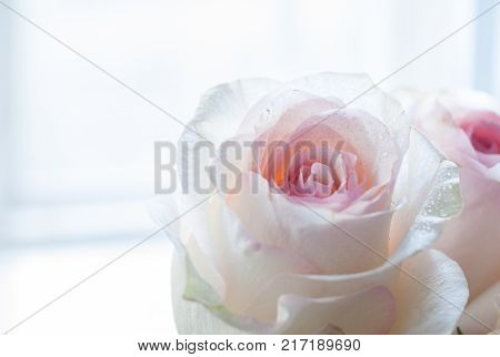 Two delicate pale pink roses in the right side near the window. Selective focus.