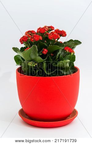 Red kalanchoe in a pot on a light background