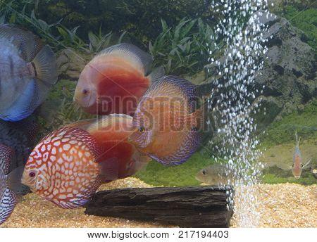 Coloured discus fishes in aquarium close up