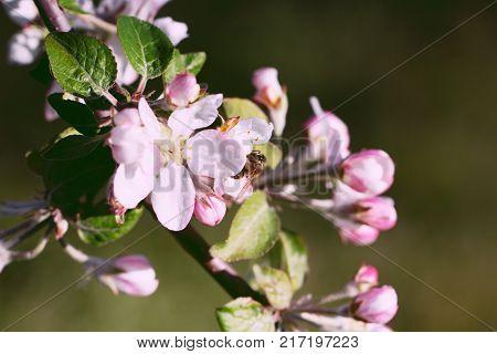 Spring blooming apple flowers - natural spring flower background in vintage tones. Picturesque spring flowers of blooming spring apple tree. Spring vintage landscape of spring apple garden