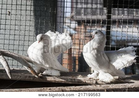 Rostov swans breed pigeons bred in Rostov-on-don in the late XIX and early XX century.