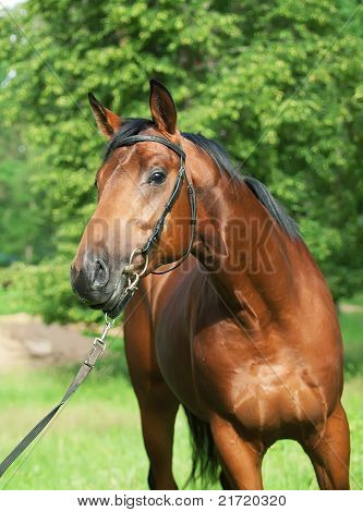 portrait of beautiful bay stallion outdoor cloudy day poster
