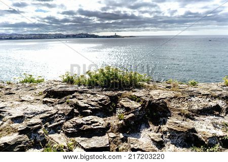 Flowers on cliff rocks on the Spanish Atlantic coast. In the background out of focus the silhouette of the City of La Coruna Galicia. Dramatic sky with dark clouds