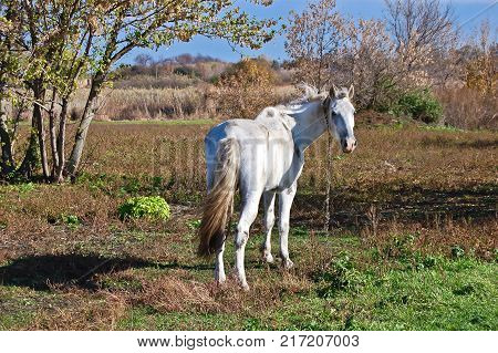 Gray-haired gelding in peasant farming looking back at you