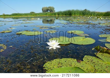 Beautiful Nymphaea alba also known as the European white water lily white water rose or white nenuphar