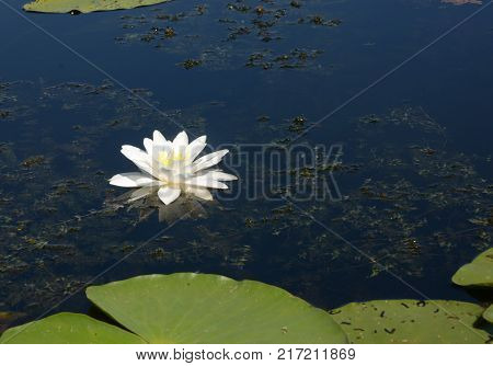 Nymphaea alba also known as the European white water lily white water rose or white nenuphar. white water lily (Nymphaeaceae) aka the European white water lily white water rose or white nenuphar