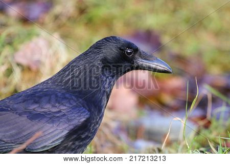 A sleek black carrion crow on a background of grass and leaves