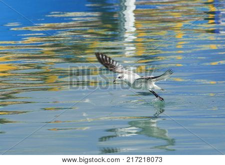 Artistic photo of seagull landing on a water in fishing village Marsaxlokk. Seagull landing on a water,nice sunset, wild bird and his reflection on a water, maltese bird