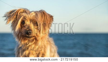 expressive dog portrait with Copy space, blurred sea background. Doggy hairy ear, nose and snout, Yorkshire Terrier illuminated by warm sunset light.