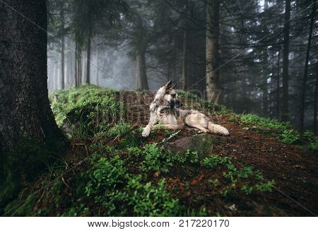 Dog in a mystical forest. Dog walking outdoors in a forest. Fog in the woods