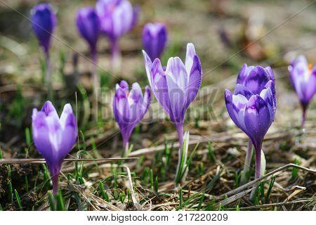 Macro photo of sunlit purple crocus flowers in spring