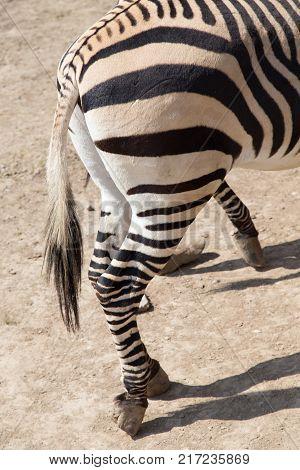 zebra hooves .