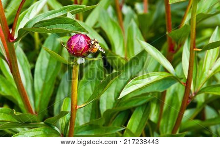Bee And Flower Bud