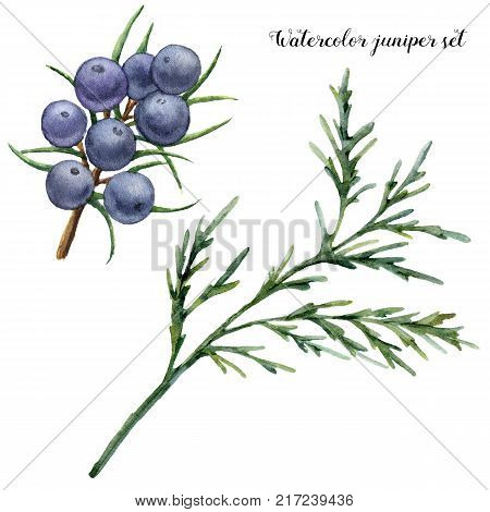 Watercolor juniper set. Hand painted blue berries and juniper branch isolated on white background. Botanical floral illustration. For design or print
