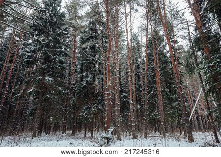 Beautiful winter forest covered with snow in Russia