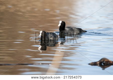 The Eurasian coot, Fulica atra, also known as coot, is a member of the rail and crake bird family, the Rallidae.