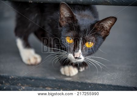 CAT EYES: A bright yellow-eyed kitten stares at the camera. His black round pupils slowly change to thin vertical slit pupils as he walks closer.