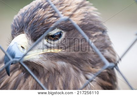 Steppe Eagle behind bars close-up. Selective focus. The steppe eagle, Aquila nipalensis, is a bird of prey. Like all eagles, it belongs to the family Accipitridae.