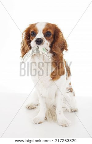 Dog with dollar bill illustrate animal costs. Spaniel dog with money. Pure bred cavalier king charles spaniel trained dog love to work.