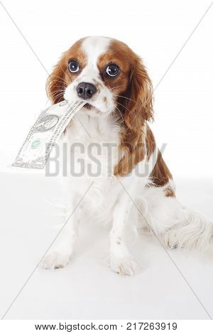 Dog with dollar bill illustrate animal costs. Spaniel dog with money. Pure bred cavalier king charles spaniel trained dog love to work. Bill. poster