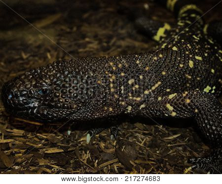 Mexican beaded lizard which is a venomous lizard and threatened species