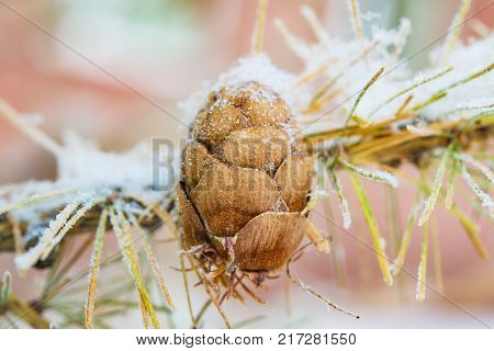 Ripe brown lump of larch with old pine needles in the snow, frost, winter landscape, close-up, macro