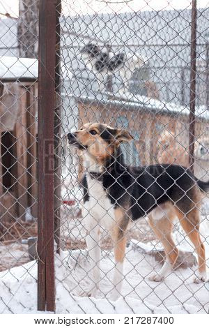 Shelter dog is a beautiful dog in an animal shelter looking through the fence wondering if anyone is going to take him home today.