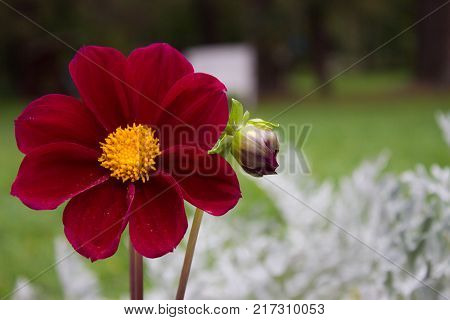 Close Up Of Beautiful Burgundy Red Dahlia Flower On  Natural Background.