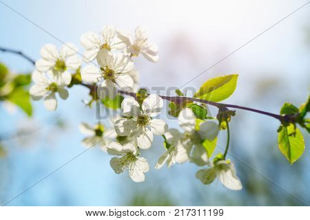 Branch of cherry flowers in spring sunny day