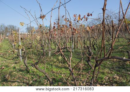 Vineyard at the end of the season & after grape picking. vineyard valley farming nature fall foliage autumnal grapes branch