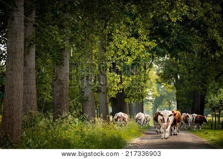 Dutch Country road  with cows and trees , Netherlands. Cows are on their way for milking
