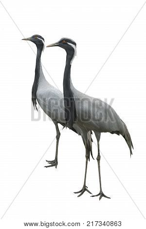 two crane isolated on a white background